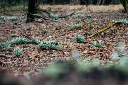 Schneeglöckchen im Teutoburger Wald
