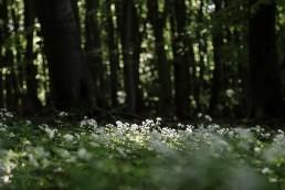 Waldmeister im Teutoburger Wald