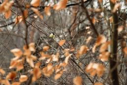 Meisen im Teutoburger Wald