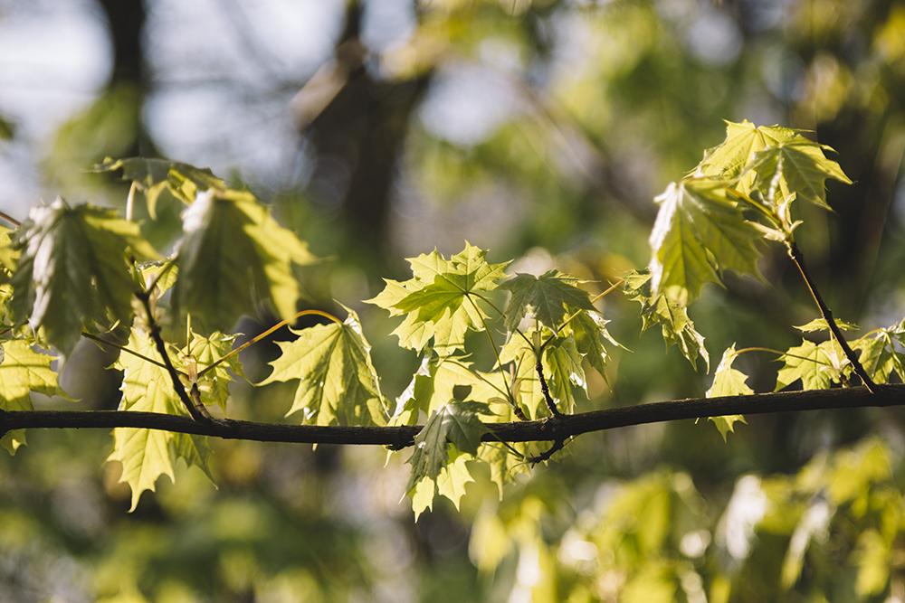 Wildes Ostwestfalen Lengerich Sonnenaufgang Ahorn Laub April 2017