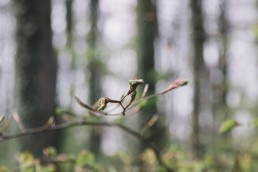 Frisches Blattknospen der Buche im Teutoburger Wald